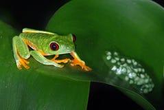 Roter Augenbaumfrosch mit Eiern auf einem Blatt. Stockfotos