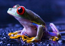 Roter Augenfrosch Stockfoto