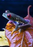 Roter Augenfrosch Stockfotos