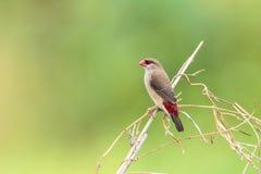 Roter Avadavet-Vogel [Amandava-amandava] Lizenzfreies Stockbild