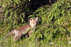 Roter Babyfuchs, der im tiefen Gras, Vosges, Frankreich steht Stockbild