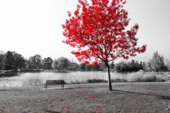 Roter Baum über Park-Bank Stockfoto