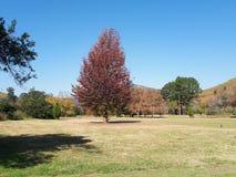 Roter Baum Stockfotografie