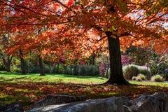 Roter Baum Stockfoto