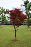 Roter Baum Stockbild