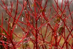 Roter Baum Lizenzfreie Stockfotos