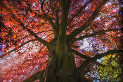 Roter Baum des Herbstes (Acer-platanoides Rot), Weinleseeffekt Stockfoto