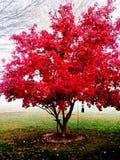 Roter Baum im Nebel Stockfotos