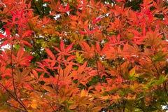 Roter Baum verlässt Hintergrund stockbild