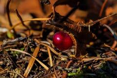 Roter Beerenabschluß oben aus den Grund Lizenzfreies Stockbild