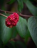 Roter Berry Cluster auf Bush Stockbild