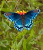 Roter beschmutzter purpurroter Admiral Butterfly Lizenzfreies Stockbild