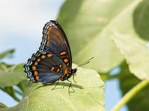 Roter beschmutzter purpurroter Admiral Butterfly Stockfotografie
