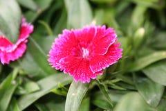 Roter beständiger Dianthus Stockbild