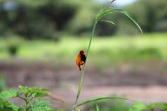 Roter Bischofsvogel Sansibars stockbild