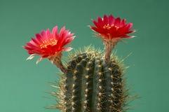 Roter blühender Kaktus (Echinopsis hertrichiana) Stockbild