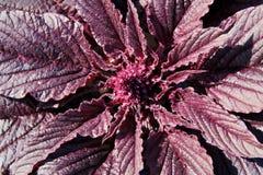 Roter Blütenstand des Amarants lizenzfreies stockbild