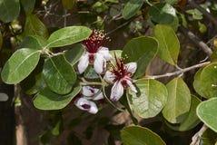 Roter Blütenstand von Feijoa-sellowiana Baum stockfotografie