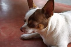 Roter blinder chivava Hund Stockfotografie