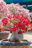 Roter Blume Adeniumbaum oder -Wüstenrose im Blumentopf Stockbilder