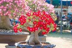 Roter Blume Adeniumbaum oder -Wüstenrose im Blumentopf Lizenzfreie Stockfotografie