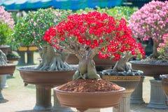 Roter Blume Adeniumbaum oder -Wüstenrose im Blumentopf Stockfoto