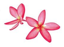 Roter Blume Plumeria mit Isolat lizenzfreie stockbilder