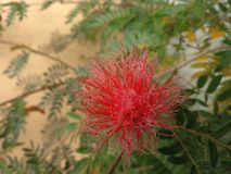 Roter Blumen-Tau Lizenzfreies Stockbild