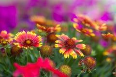 Roter Blumenabschluß oben in der Natur Schließen Sie oben von der chinesischen Hibiscusblume in der roten Farbe mit unscharfem Na stockfotos