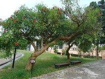 Roter Blumenbaum lizenzfreies stockfoto