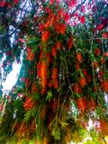 Roter Blumenbaum, der in einem Garten steht lizenzfreie stockbilder