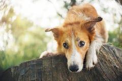 Roter border collie-Hund, der auf einem Klotz liegt stockbild