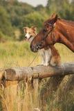 Roter border collie-Hund und -pferd Stockfoto