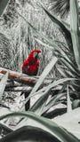 Roter brasilianischer Papagei stockfoto