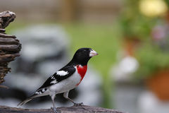 Roter Breasted Grosbeak auf Treibholz Lizenzfreie Stockfotografie