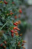 Roter Briar Stockbild