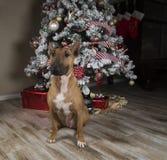 Roter Bullterrier vor einem Weihnachtsbaum stockfotos