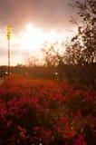 Roter Busch Stockbild