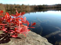 Roter Busch auf dem Stein nahe dem See Lizenzfreies Stockbild