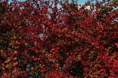 Roter Busch mit roter Beere stockbilder