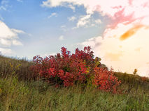 Roter Busch und Blumen auf dem Gebiet Stockfotos