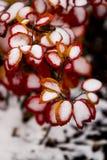 Roter Bush mit Schnee 2 Lizenzfreies Stockbild