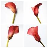 Roter Calla auf einem weißen Hintergrund Stockfotos