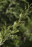 Roter Cedar Background Lizenzfreie Stockfotografie