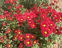 Roter Chrysanthemengelbblütenstaub auf dem großen Gebiet Lizenzfreies Stockbild