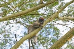 Roter Colobus-Affe in einem Baum Stockfotos