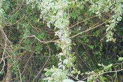 Roter Colobusaffe in Sansibar Lizenzfreies Stockbild