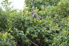 Roter Colobusaffe in Sansibar Lizenzfreies Stockfoto
