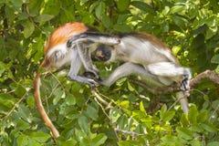 Roter Colobuse-Affe Stockbilder