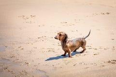 Roter Dachshundhund auf dem Strand lizenzfreie stockbilder